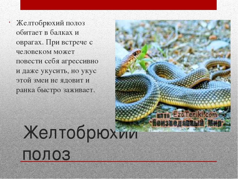 Желтобрюхий полоз: описание и фото :: syl.ru