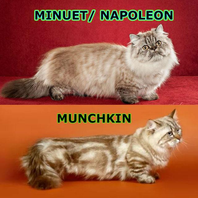 Наполеон-Минуэт