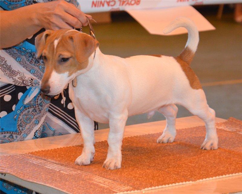 Джек-рассел терьер — все о собаке: описание, цена, отзывы. интересные факты о происхождении породы и внешнем виде