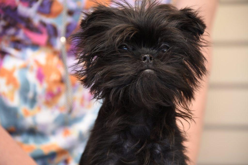 Аффенпинчер - 135 фото маленького и красивого пса, обзор породы!