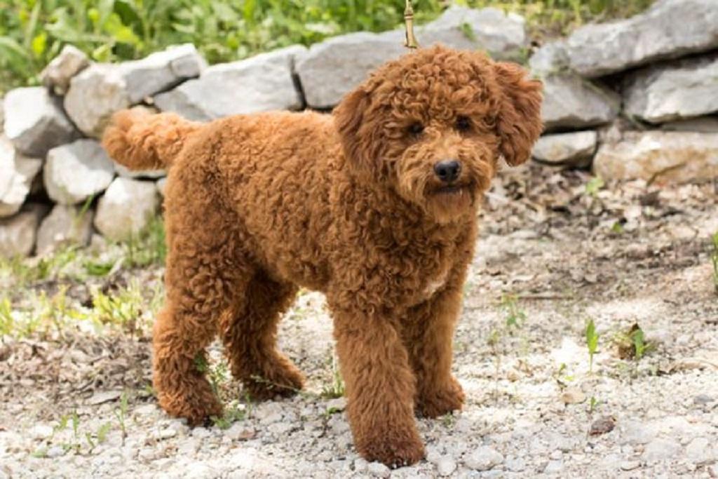 Лабрадудль— новичок среди собак