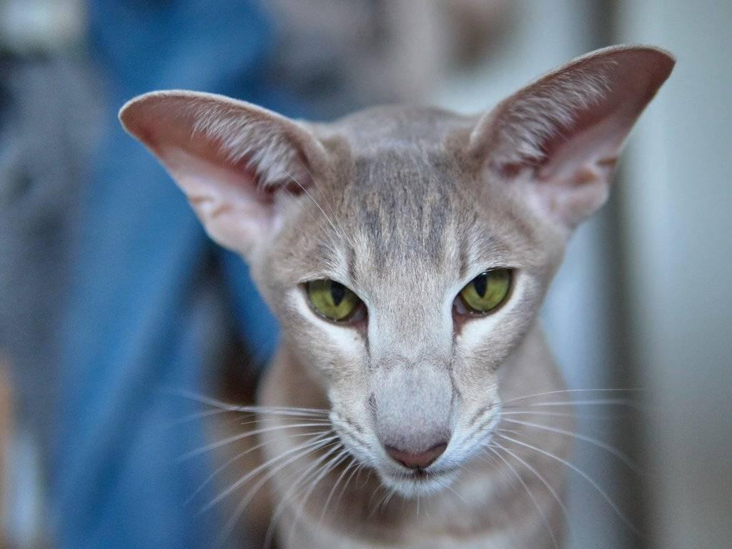 Бог создал кошку. ориентальная порода кошек