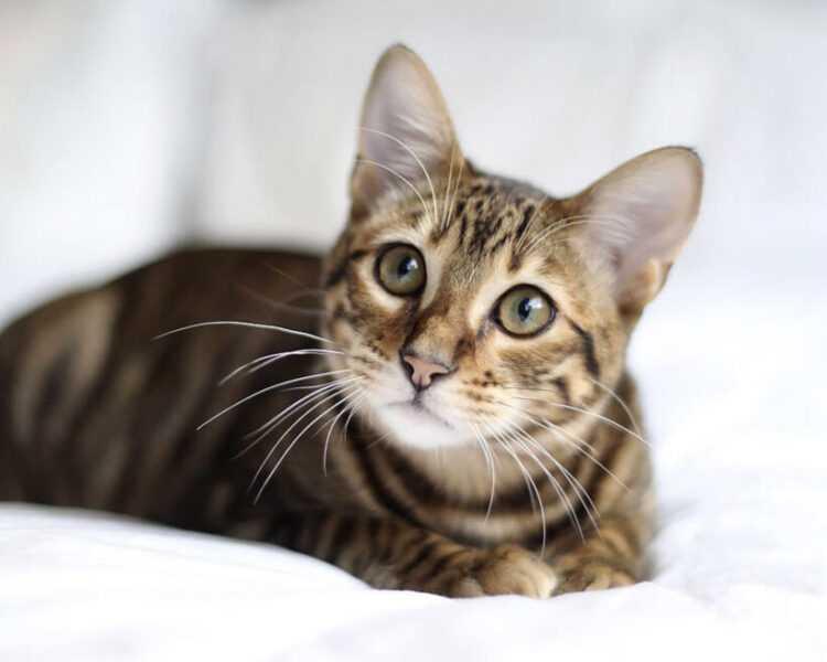 Тойгер ???? фото, описание, характер, факты, плюсы, минусы кошки ✔