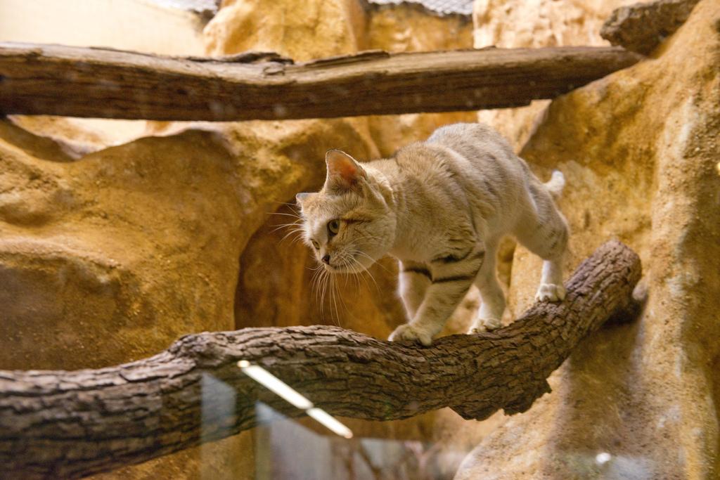 Барханная кошка – жемчужина пустыни