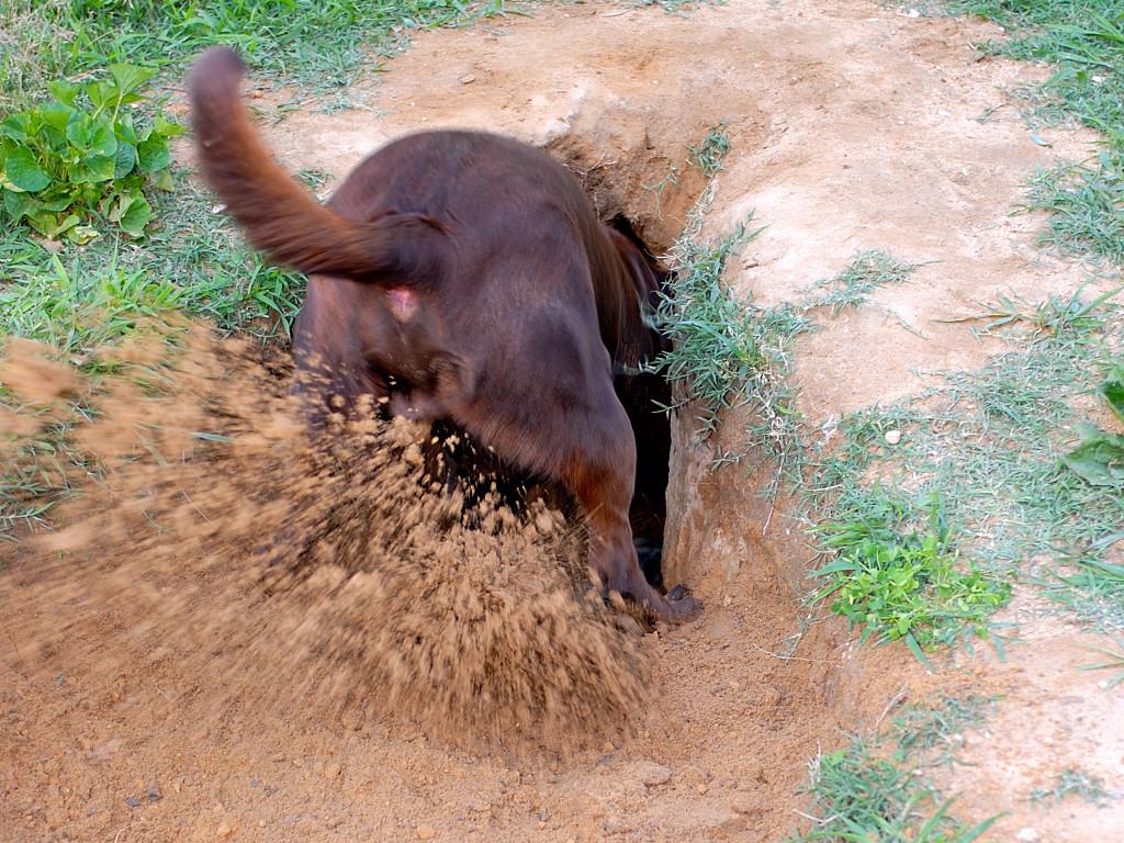 Почему собаки роют землю и как отучить собаку копать?