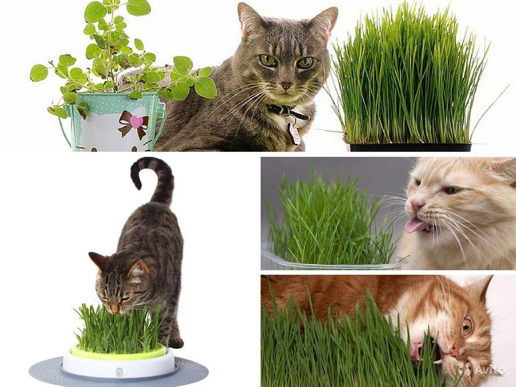 3 причины, почему ваша кошка обожает есть траву - gafki.ru