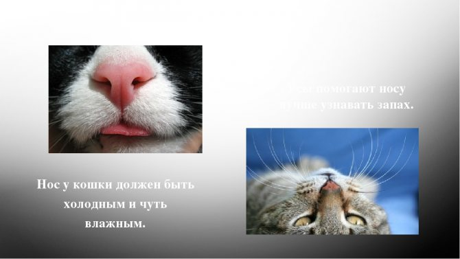 У кошки горячие уши и сухой нос – что это значит и что делать владельцу