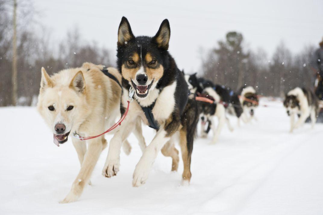 Северные породы собак – от всеми любимых до малоизвестных