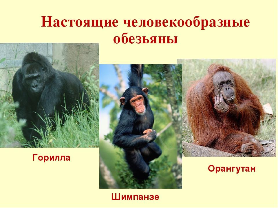 Виды обезьян: названия и фото, где живут и чем питаются, описание