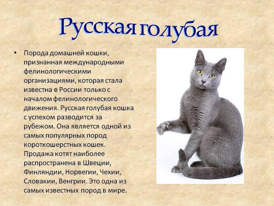 Русская голубая кошка: зеленоглазая аристократка из архангельска