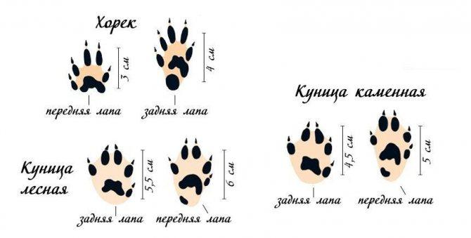 Как отличить волка от собаки   отличие следа, сходства, фото