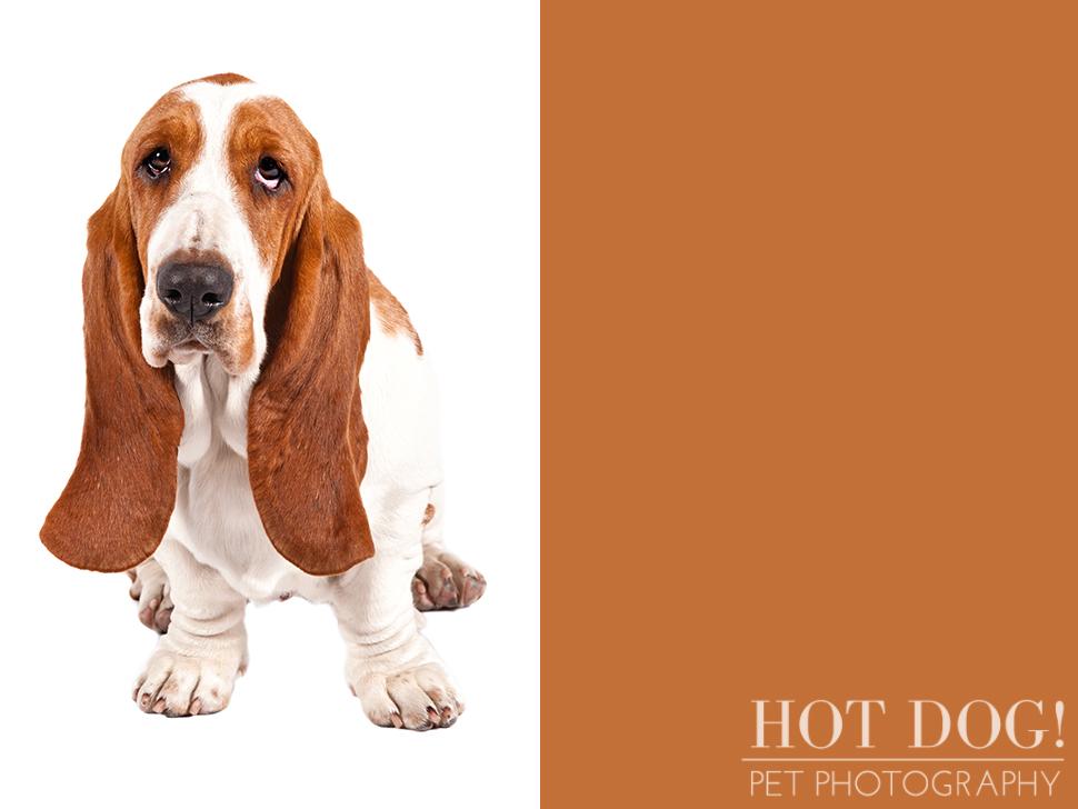 Бассет хаунд — фото, описание породы собак, особенности