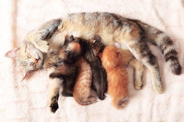 Как часто надо глистогонить кошку домашнюю (правильная дегельминтизация). как правильно и с каким промежутком нужно глистогонить кота