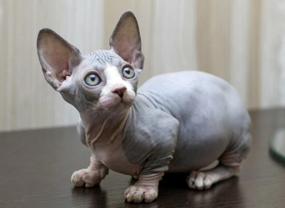 Бамбино: описание кошек и котов, уход и кормление