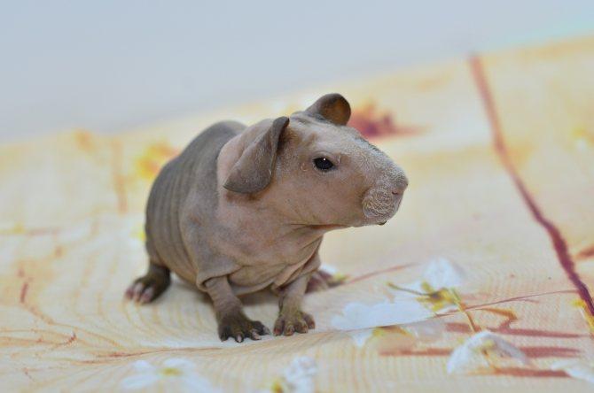 Морская свинка породы селф (английская) - фото и описание