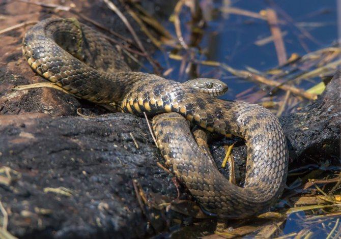 Змея желтобрюхий полоз, описание, повадки, укус