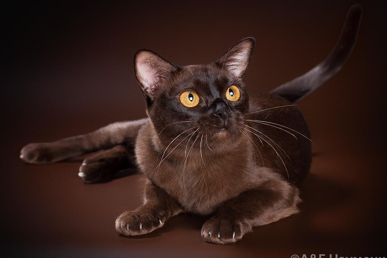 Бурманская кошка фото, описание породы бурма и характера, купить бурму и цена, отзывы