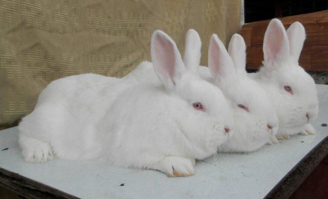 Новозеландский кролик: описание породы красного и белого видов