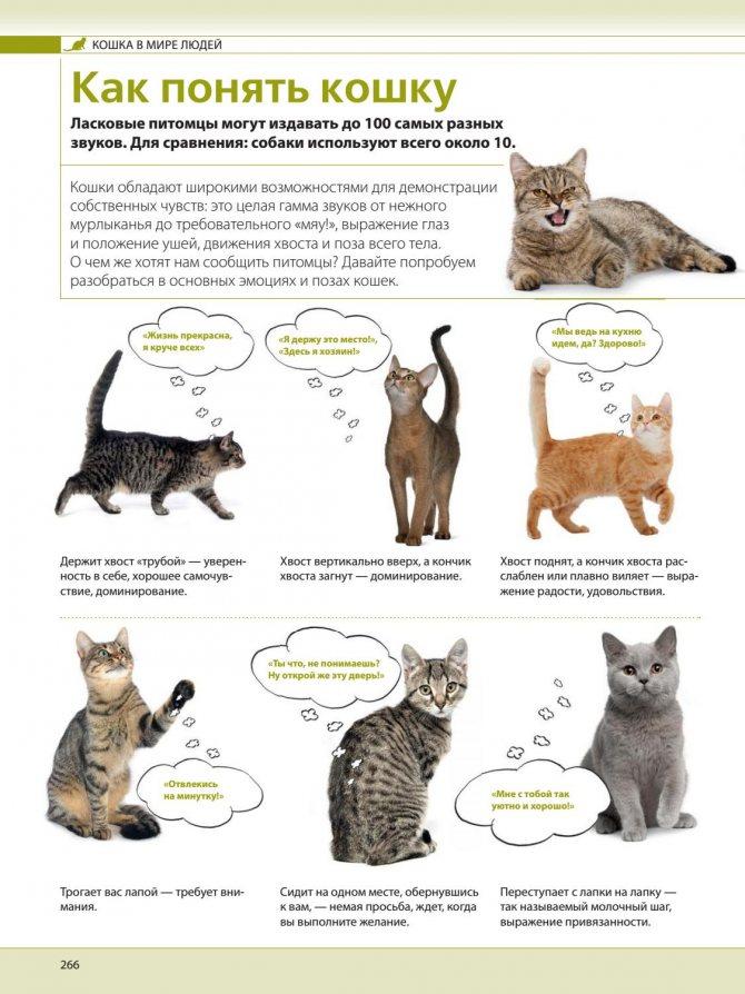 Кошачий язык: как понять своих кошек и котов, как человеку говорить с питомцем, «словарь-переводчик» для расшифровки звуков и жестов