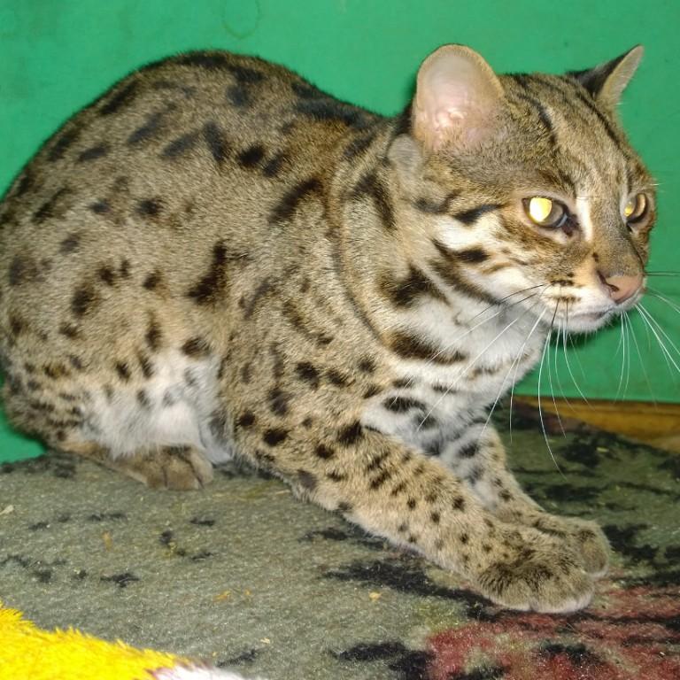 Названия и описание пород диких и домашних кошек с пятнами как у леопарда