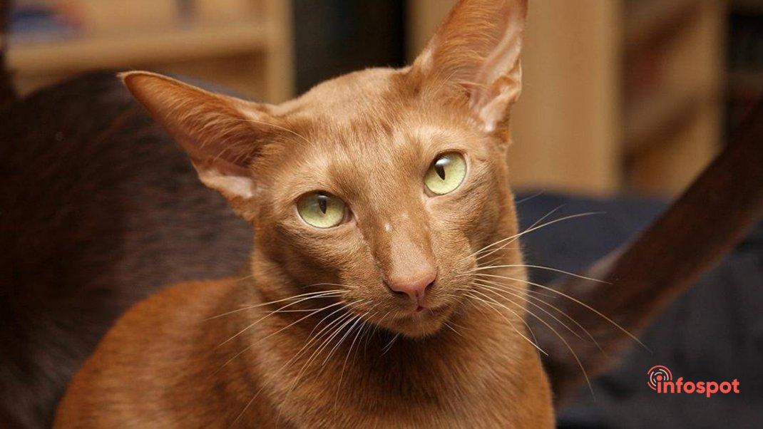 Порода кошек гавана браун: описание и фото