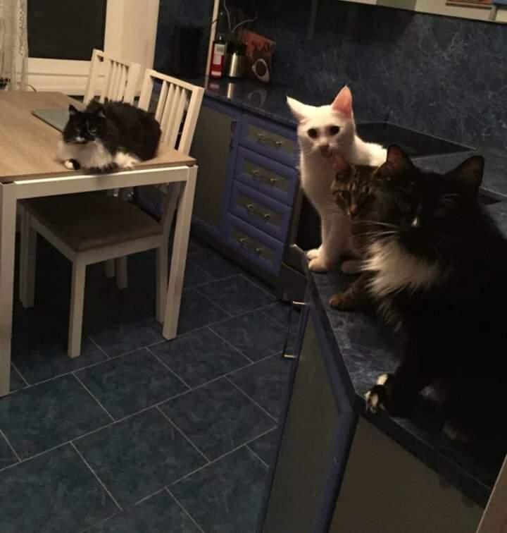 Как отучить кошку лазать по столам, полезные советы