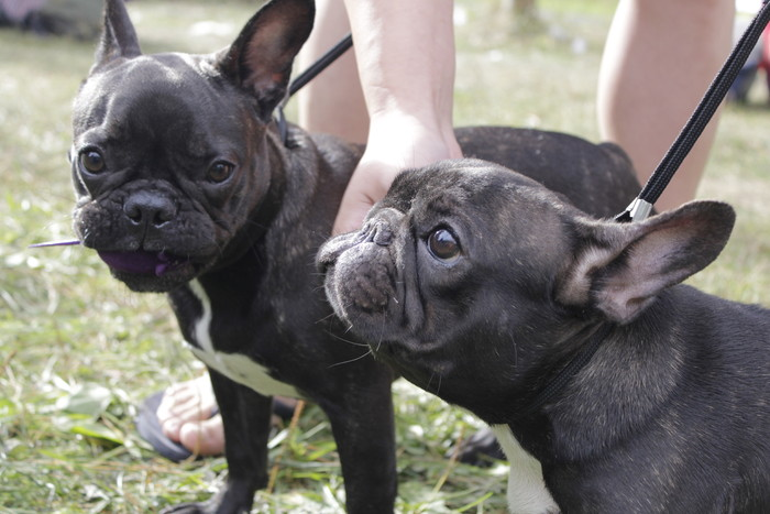 Французский бульдог: цена, фото взрослых собак и щенков, характер, питомник, сколько живут, отзывы и описание породы, ее плюсы и минусы, окрасы (белый, черный, голубой)