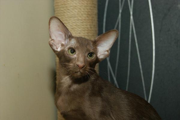 Ориентальная кошка: все о кошке, фото, описание породы, характер, цена