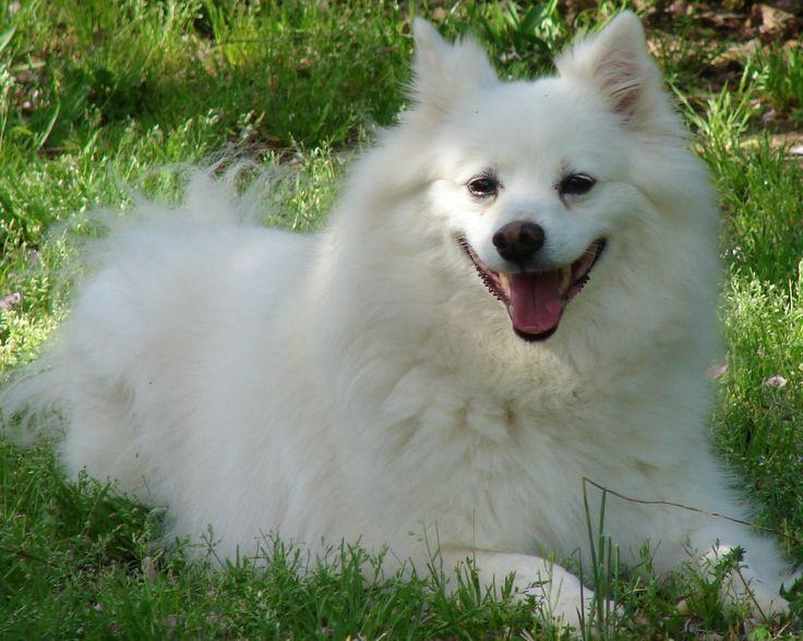 Американский эскимосский шпиц: особенности породы, внешний вид, содержание и уход, покупка щенка