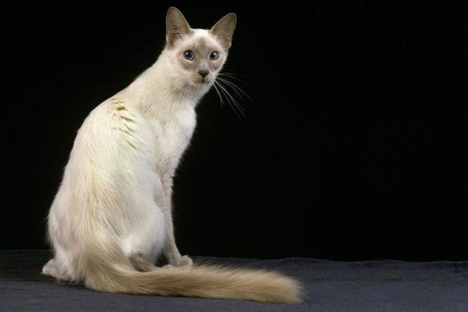 Турецкий ван: кошки и коты