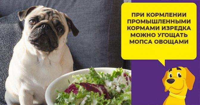 Правила питания для мопсов: натуральное меню, обзор готовых кормов