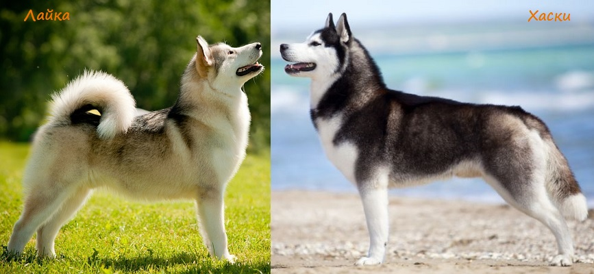 Отличия собак — лайки от хаски