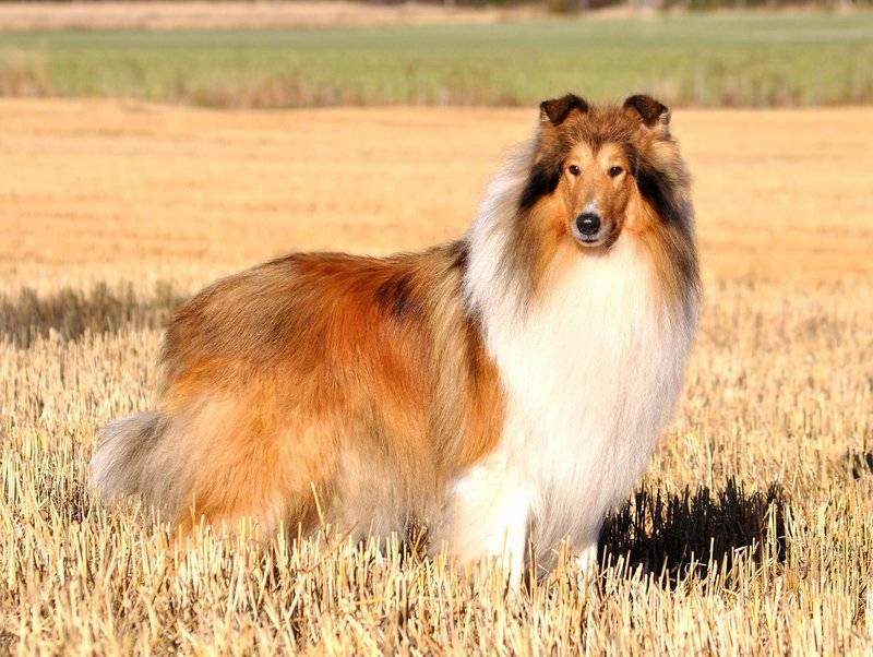 Короткошерстные колли (28 фото): особенности гладкошерстных собак, описание ухода за щенками шотландской овчарки