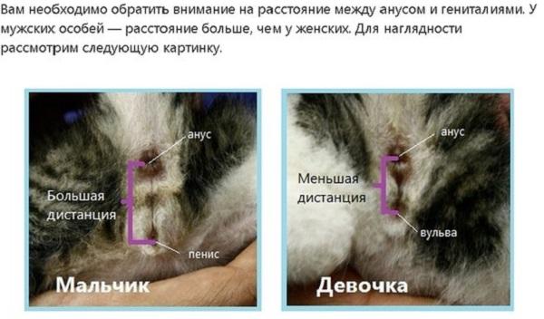 Как отличить кота от кошки: при рождении, по поведению, по морде, по цвету   zoosecrets