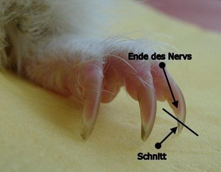 Можно ли стричь когти морским свинкам обычными ножницами