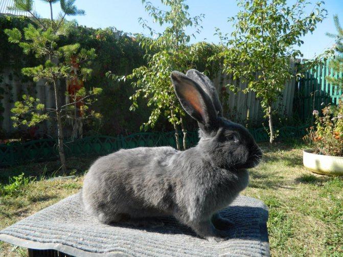 Кролики породы фландр (бельгийский великан): особенности разведения и содержания, описание особей