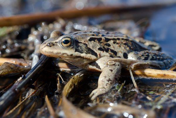 Травяная лягушка (фото): как выглядит, где обитает, чем питается и интересные факты