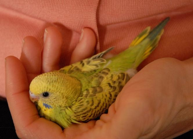 Как научить волнистого попугая говорить? мир хвостатых - журнал о домашних питомцах.