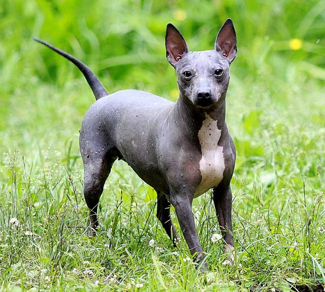Собака без шерсти – американский голый терьер