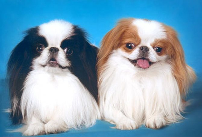 Японский хин собака. описание, особенности, уход и цена японского хина | sobakagav.ru