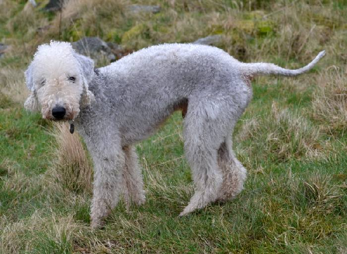 Порода собак бедлингтон терьер: собака в овечьей шкуре