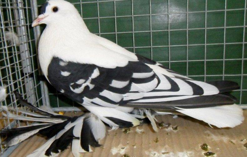 Породы голубей — полный каталог с фотографиями и названиями популярных мясных, диких, спортивных и декоративных пород