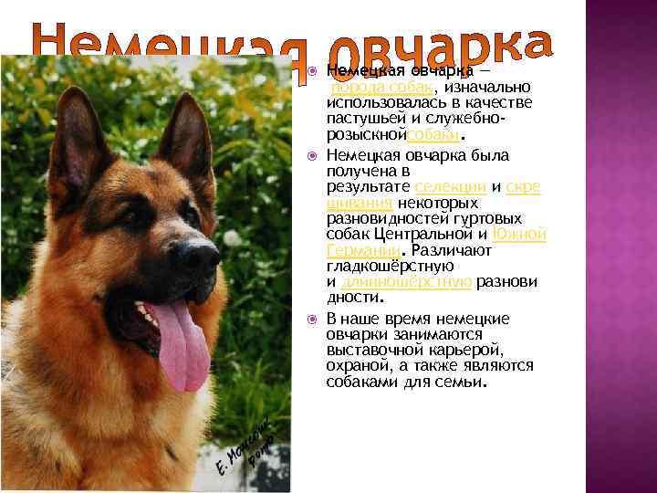 Немецкая овчарка ???? фото, описание, характер, факты, плюсы, минусы собаки ✔