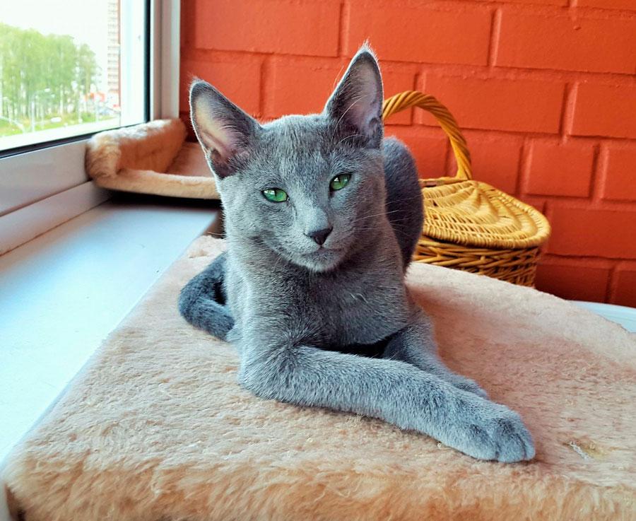 Русская голубая кошка: описание породы, фото,  уход и содержание   zoosecrets
