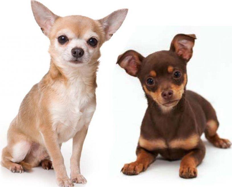 Вес чихуахуа по месяцам таблица: фото, стандарт размеров щенков и взрослой, самой маленькой мини собаки в мире