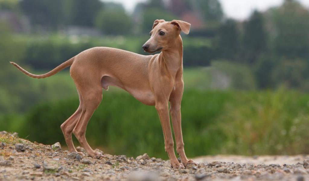 Бурбуль: что это за южноафриканская порода, как ее содержать, описание собаки, рекомендации по уходу, фото и отзывы об африканском питомце