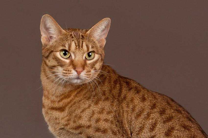 Кошка породы оцикет: описание, фото, характер, повадки, правила содержания в домашних условиях