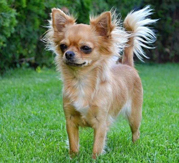 Маленькие породы собак - фото и названия, каталог декоративных собак