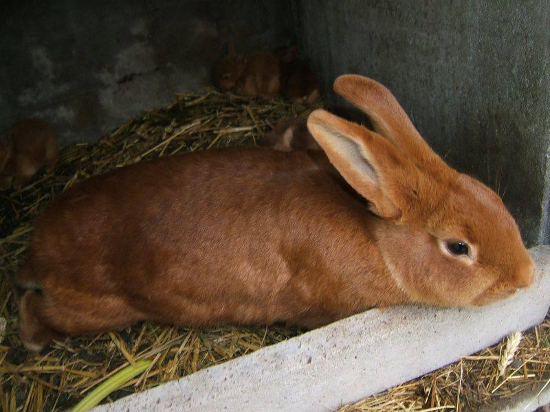 Бургундский кролик характеристики породы - oozoo.ru