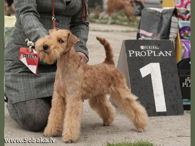 Лейкленд-терьер: описание породы, фото собаки, особенности ухода и разведения